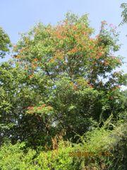 Bienenbaum 10 St 40-45cm St