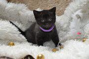 BKH Kitten in Chocolate smokie