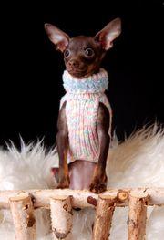 Welpen Mini Hunde Russkiy Toy