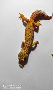 1 0 Bell Albino Leopardgecko