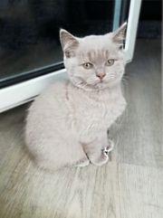 reinrassige Bkh Kitten blue u