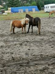 minishetty und Pony Stute suchen