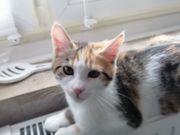 Main Coon Hauskatze Kitten