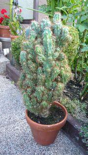 Kaktus ca 80 cm hoch