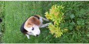 Beaglemädchen 4 Monate mit allem