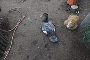 Verkaufe Enten und Erpel aus
