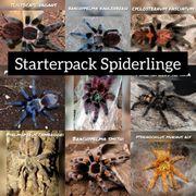 Starterpack Spiderlinge Vogelspinnen Aufzucht
