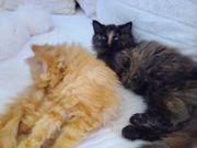Selkirk Rex Kitten Teddy-Katzen
