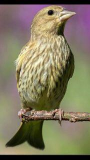Grünfink vogel