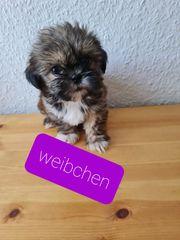 Shihtzu Welpen