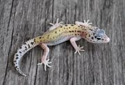 Leopardgeckos 2021