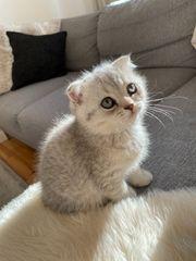 BKH SF Kitten in silver