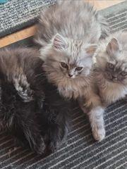 Maine coon Perser mix kitten