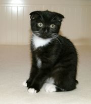 BKH Mix 2 Kitten Kätzchen