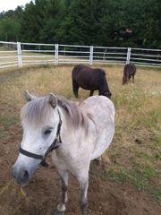 Verk Ponyfamilie
