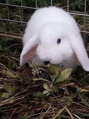 Kaninchen Kinder 10-12 Wochen
