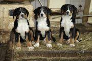 Große Schweizer Sennenhund Welpen