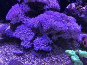 koralle pumpende xenie