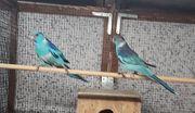 Zuchtpaar Barnardsittiche blau