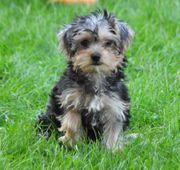 Verschmuste Yorkshire Terrier Welpen