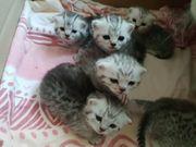 reinrassige britische Kurzhaar Kitten