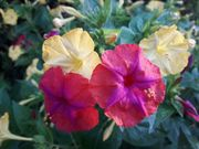 Wunderblume Mirabilis jalapa herrlich duftend