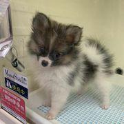 Pomeranian Zwergspitz Welpen suchen ein
