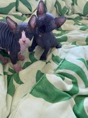 2 Canadian Sphynx Jungs