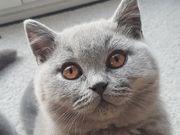 BKH Kitten blaues Katerchen mit