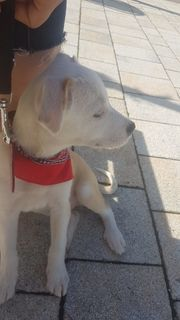 podenco mix welpe