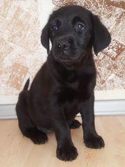 Labrador-mix Welpe Weibchen