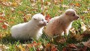 Weißer Schäferhund Ausi Welpen
