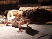 Eublepharis macularius - Leopardgecko - Black Night