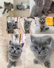 BKH Kitten Baby Katze Britisch