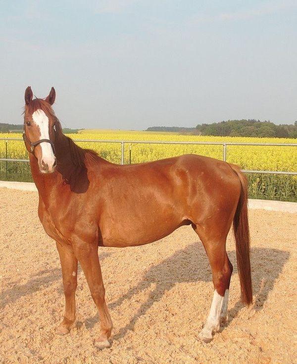 Deutsches Sportpferd mit rießem Herz