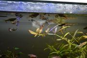 Futterfisch Guppy Nachwuchs