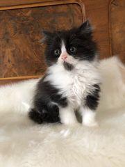 zuckersüßes Perser Kätzchen mit Nase