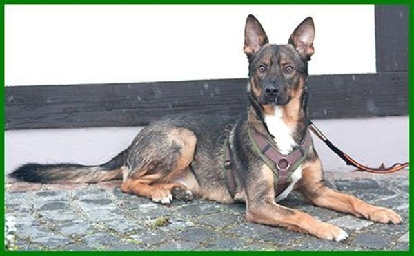 Paschco, 1,5 » Hunde
