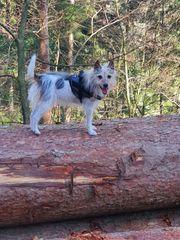 Urlaubsbetreuung für kleinen Terrier gesucht