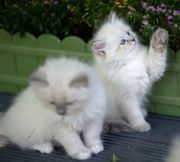 Neva Masquerade Kitten mit Stammbaum