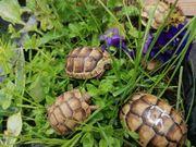 landschildkröte testudo Marginata Breitrand Schildkröte