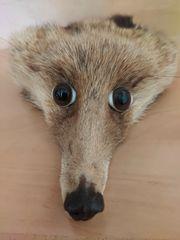 älterer kleiner präparierter Fuchskopf kein