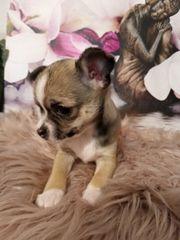 TRICOLOR BROWN Chihuahua Welpe Hündin