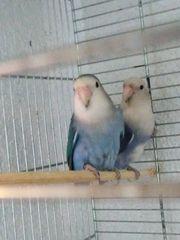 Agaponiede papagei mit Eier