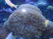 Korallen Tubipora musica stock
