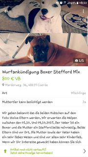 Wurfankündigung Boxer Stefford