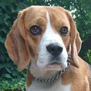Chicolino 4 Jahre - Beagle - Tierhilfe