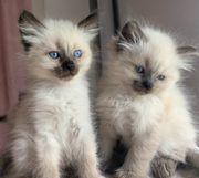 zwei Heilige Birma Ragdoll Kätzchen