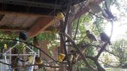 Kanarienvögel aus Kalthaltung