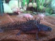 Axolotl, Wildlinge und